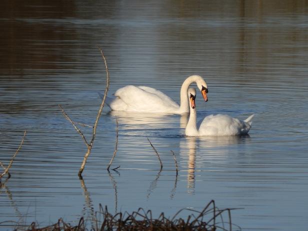 use-main-swans.jpg
